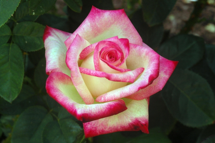 A-rose-is-a-rose-roses-17694680-2256-1496